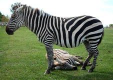 Free Zebra Taking Afternoon Nap Stock Image - 8527771