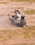 Zebra taking dust bath Stock Image