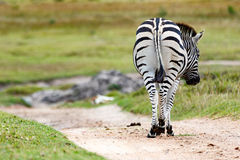 Zebra Taking a Walk. Kragga Kamma Game Park in Port Elizabeth lush coastal forest and grassland is home to vast herds of African game stock photos