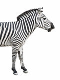 Zebra talks isolated over whit. Common (Plains or Burchell's) zebra looks like talking or smiling. Isolated on white  with clipping path Royalty Free Stock Images