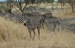 Zebra in Tanzania Stock Afbeelding