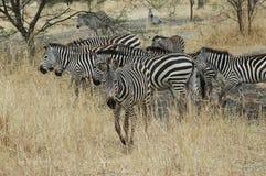 Zebra in Tanzania. Zebra Herd in Tanzania Royalty Free Stock Photo