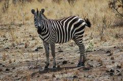 Zebra in Tanzania Stockfotografie
