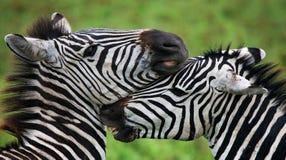 Zebra tanzania Lizenzfreie Stockfotos