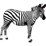 Zebra - Tanzania - Africa Stock Image