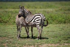 Zebra, Tanzania, Afryka Zdjęcia Stock