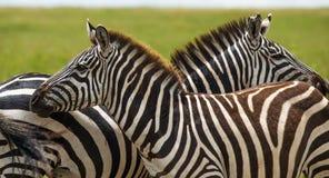 Zebra, Tanzania, Afryka Fotografia Stock