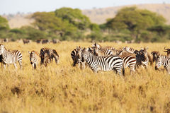 Zebra in Tanzania. Zebras eating in the great plains of Serengeti Tanzania, Africa Stock Photos