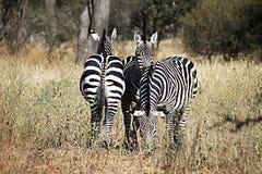 Tarangire zebras. Zebra in the tarangire national park in tanzania Stock Photography