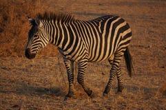 Zebra in Tarangire NP Tanzania. A zebra in Tarangire NP in Tanzania just before sunset Stock Photos