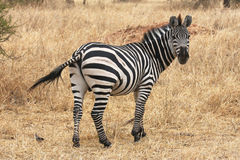 Zebra in Tarangire (Tanzania) Stock Photo