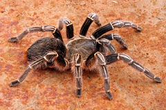 Zebra Tarantula. Close-up of a Zebra Tarantula (Aphonopelma seemani). A medium sized tarantula and is somewhat timid. It will flick hairs (urticating hairs) from Stock Image