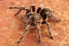 Zebra Tarantula. Close-up of a Zebra Tarantula (Aphonopelma seemani). A medium sized tarantula and is somewhat timid. It will flick hairs (urticating hairs) from Stock Photo