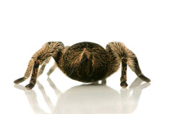 Zebra tarantula or Aphonopelma Royalty Free Stock Photos