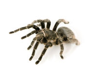 Zebra tarantula or Aphonopelma Stock Images