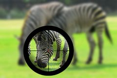 Zebra grazing in a green field Stock Images