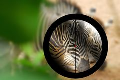 zebra targeted by a hunter with the cross hairs of the scope on Stock Image