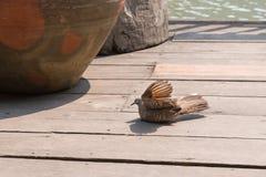 Zebra-Taube (Geopelia-striata) nehmen ein Sonnenbad Stockfotografie