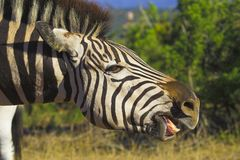 Zebra Teeth. Zebra showing its bottom row of teeth Stock Photo
