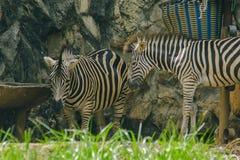A zebra tem as listras pretas que alternam com as listras brancas fotografia de stock royalty free