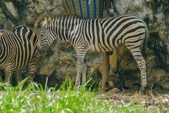 A zebra tem as listras pretas que alternam com as listras brancas imagens de stock