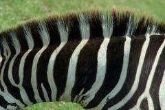 Zebra Texture 1. Photo of a zebra's neck with mane Stock Photos