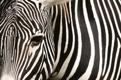 Zebra texture Stock Photos