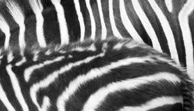 Zebra texture Stock Image