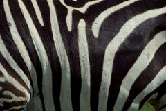 Zebra Texture 2. Close-up shot of the side of a zebra royalty free stock photography