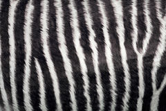 Zebra texture. (real good fur Royalty Free Stock Images