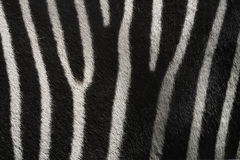 Zebra Texture. Real zebra fur texture and background stock photo
