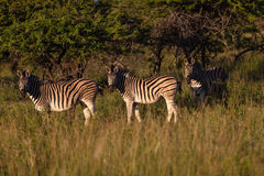 Zebra Three Alert Wildlife Stock Photos