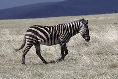 Zebra in thundercloud light, Ngorongoro Stock Images