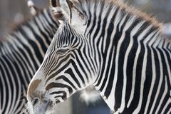 Zebra-Tiefe Stockfoto
