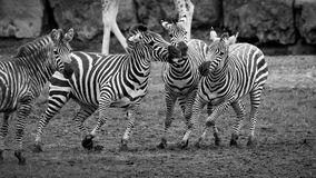 Zebra tiff Royalty Free Stock Image