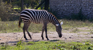 Zebra to pasture Stock Images