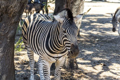 Zebra together in the shade of a tree Stock Photo