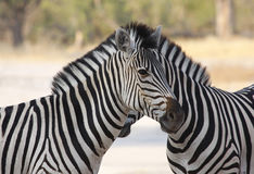 Zebra Togetherness. Two Burchell's zebra in botswana, south africa Stock Photography
