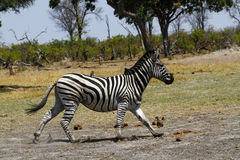 Zebra Togetherness. Burchells zebra in Botswana, South Africa Stock Image