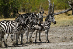 Zebra Togetherness. Burchell's zebra in botswana, South Africa Stock Photo