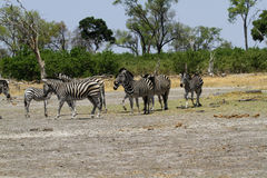 Zebra Togetherness. Burchell's zebra in botswana, South Africa Stock Image