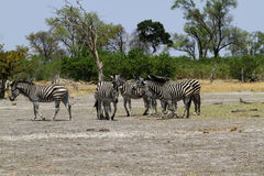 Zebra Togetherness. Burchell's zebra in Botswana, South Africa Stock Photos