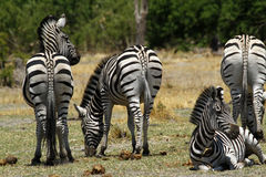 Zebra Family Herd. Burchells zebra in Botswana, South Africa Stock Photography