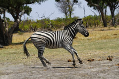 Playful Zebra. Burchells zebra in Botswana, South Africa Royalty Free Stock Images