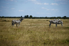 Zebra Togetherness Laughing Scratching Stock Photo