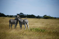 Zebra Togetherness Laughing Scratching Stock Images