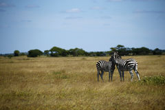 Zebra Togetherness Laughing Scratching Stock Photos