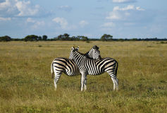 Zebra Togetherness Scratching Royalty Free Stock Photo