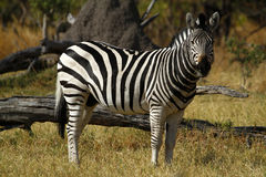 Zebra Togetherness Royalty Free Stock Image
