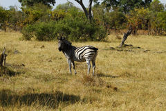 Zebra Togetherness. Two Burchell's zebra in botswana, south africa Stock Images